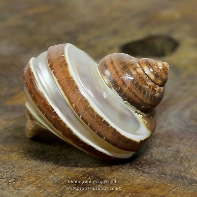 Turbo Tapestry Petholatus Pearl banded Polished Sea Shell 6-7cm