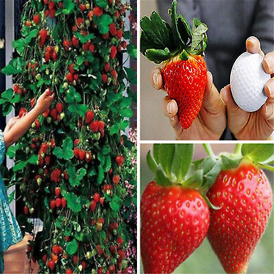 200PCS Red Climbing Strawberry Seeds, Garden Fruit Plant, Sweet And Delicious