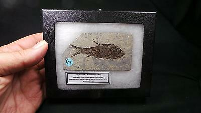 fósiles,peces Jianghanichthys hubeiensis,primitive fossil fish,top quality