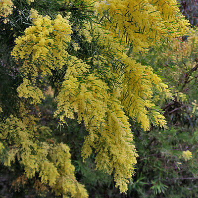 Acacia fimbriata dwarf form Fringed Wattle native plant in 50mm pot