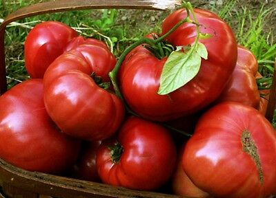 15 Tomato Seeds SUDDUTH'S STRAIN BRANDYWINE Heirloom Vegetable Organic