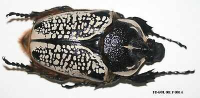 Insect Coleoptera Beetle Goliathus Orientalis Female 18-GOL OR F 0014