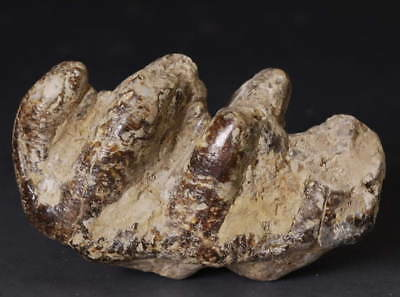 Coryphodon Big Teeth fossil! Chinese culture collectible!
