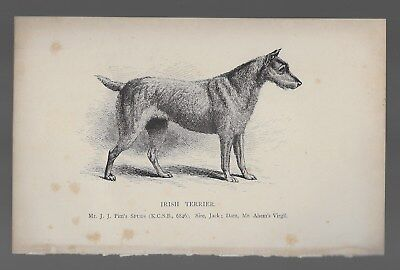 Irish Terrier Antique Engraved Dog Print 19th Century