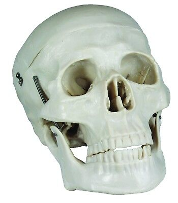 Life Size Human Skull Anatomical Model with Movable Jaw, Skull splits into 2.
