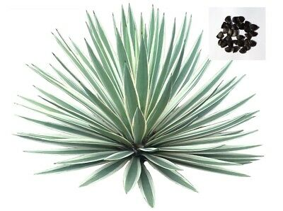 Agave Angustifolia Succulent Tree Plant Fresh Seeds 250+