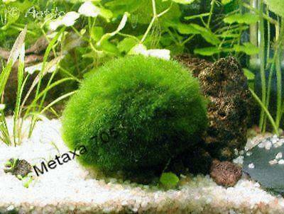 1 boule d'algue diamètre de 4 cm , plante aquarium
