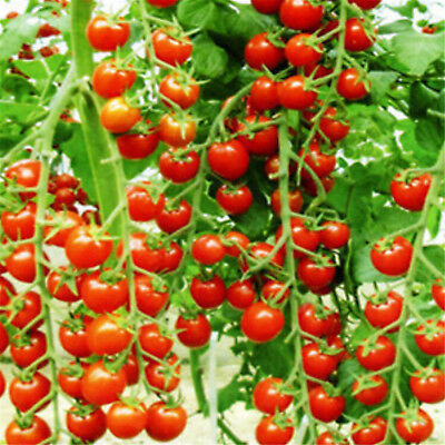 10 Seeds Sweet Huge Tree Tomato Fruit Vegetable Seed Home Garden Plant GUT