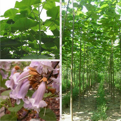 500 pcs paulownia elongata paulownia seeds New forest fast growing tree
