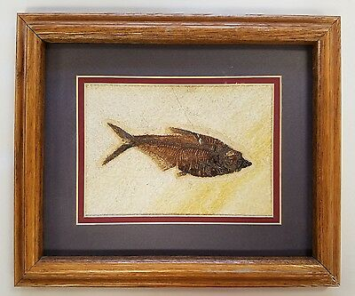 Framed & Matted Fossil Fish Diplomystus Wyoming