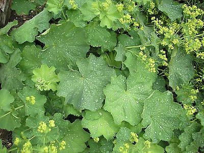 Alchemilla Mollis 'Lady's Mantle' -9cm- Native Perennial-PAY P&P ONCE ON PLANTS