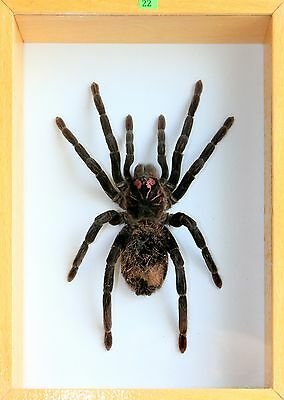 Unique Real Tarantula (Xenesthis immanis) Taxidermy - Mounted, Framed
