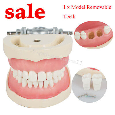 Professional Dental Teach Study Adult Standard Typodont Demonstration ModelTeeth