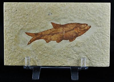 Knightia Eocaena Fossil Fish Green River Formation Eocene Age 2.9 In Free Stand