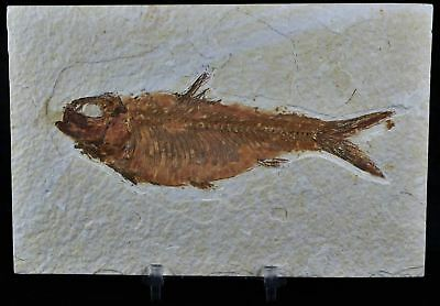 Knightia Eocaena Fossil Fish Green River Formation Wy Eocene Age 5 In Free Stand