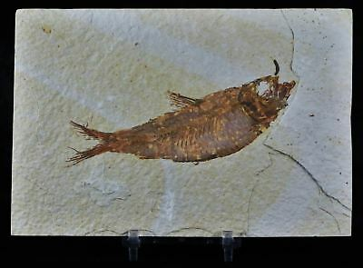 Knightia Eocaena Fossil Fish Green River Formation Eocene Age 4.1 In Free Stand