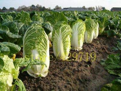 500 seeds CABBAGE Chinese cabbage  NO-GMO  Vegetable seed Bok Choy Brassica Peki