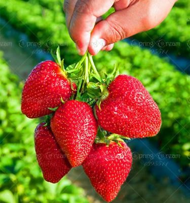 500pcs/bag giant strawberry seeds red strawberry Organic Heirloom fruit vegetab
