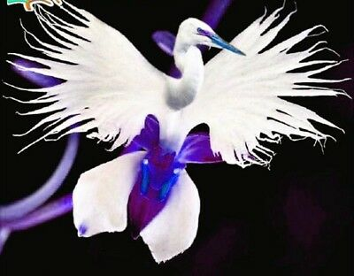50pcs Japanese Egret Flowers Seeds Purple Egret Orchid Seeds Radiata Rare Purple
