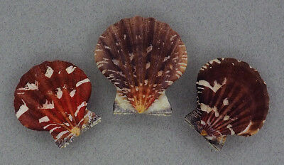 Coquillage de collection : Bractechlamys vexillum (x3)