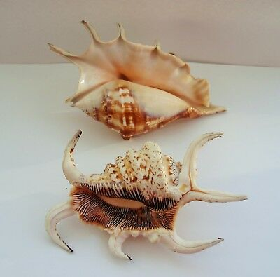 LAMBIS SPIDER CONCH SHELL x 2