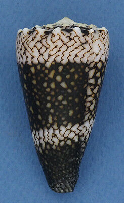 Coquillage de collection : Conus vidua cuyoensis (Extra - 57 mm)