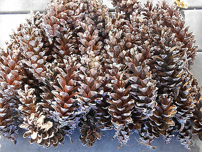 """60 White Pine Tree pinecones 5-6"""" natural real Wisconsin fresh crafts wreaths"""