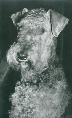RARE Old Dog Personal Photo Postcard PC Gorgeous Airedale Terrier c1950 Holland