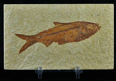 Knightia Eocaena Fossil Fish Green River Wy Eocene Age 3.9 In Long Free Stand