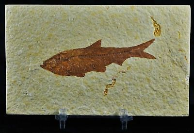 Knightia Eocaena Fossil Fish Green River Wy Eocene Age 3.2 In Long Free Stand