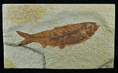 Knightia Eocaena Fossil Fish Green River Formation Wy Eocene Age 3.7 In Long