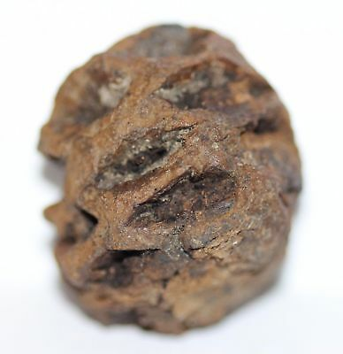 Meta Sequoia Pine Cone - Dinosaur Age Fossil - HIGH QUALITY Hell Creek Formation