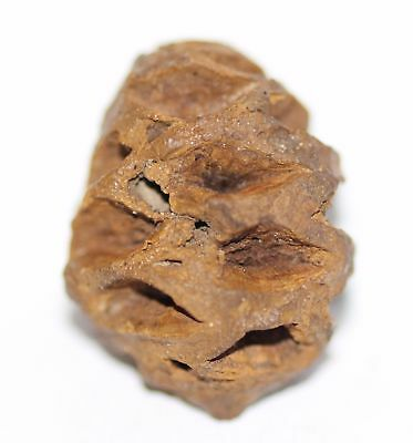 Meta Sequoia Pine Cone - Dinosaur Age Fossil - Hell Creek CRETACEOUS One of Kind