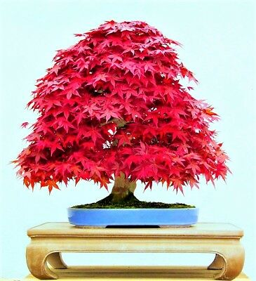 20 Pcs Red Rare Mini Japanese Red Maple Seeds Tree Bonsai Home Plants Potted