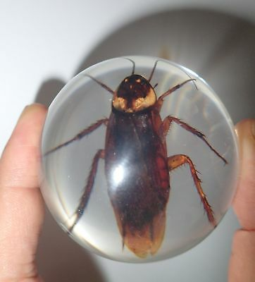 American Cockroach Periplaneta americana Specimen Clear 60 MM Insect Sphere Ball