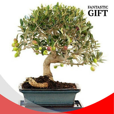 Olive Bonsai Seeds Rare Red Flower Tree Indoor Ornamental Plant Decor Balcony