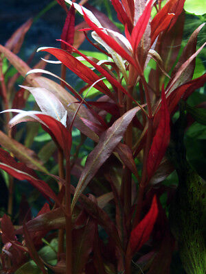plante aquarium aquatique alternanthera reineckii rouge 12 cm lot de 6 pieds