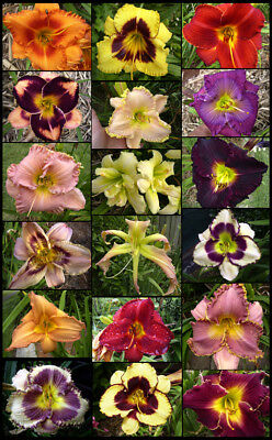 LAST ONES!  REDUCED PRICE - 20 plus 2016 mixed DAYLILY SEEDLINGS