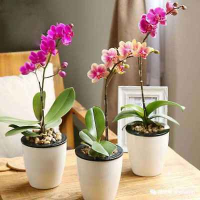 100Pcs Phalaenopsis Orchid Seeds Mixed Color Flower Seeds Home Garden Ornamental