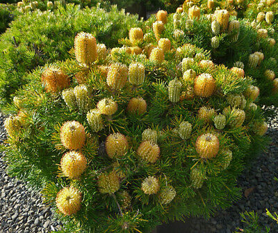 Banksia spinulosa Birthday Candles native plant in 50mm pot