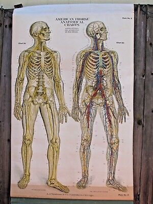 Antique Frohse Anatomical Nervous System Medical Chart 1918