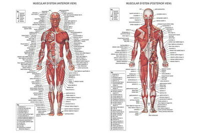 "001 Human System - Body Anatomical Chart Muscular Skeletal 21""x14"" Poster"