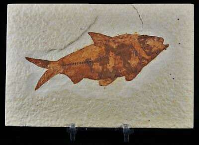 4.5 In Knightia Eocaena Fossil Fish Green River Formation Wy Eocene Free Stand