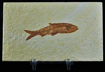 2.7 In Knightia Eocaena Fossil Fish Green River Formation Wy Eocene Free Stand