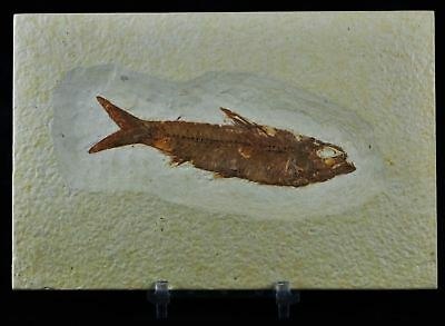3.7 In Knightia Eocaena Fossil Fish Green River Formation Wy Eocene Free Stand