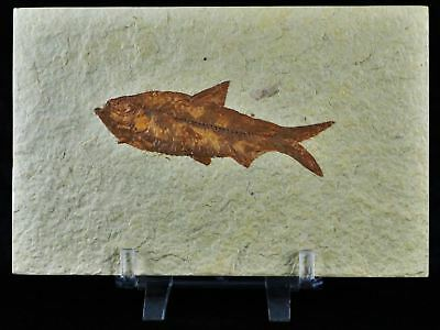 3.3 In Knightia Eocaena Fossil Fish Green River Formation Wy Eocene Free Stand