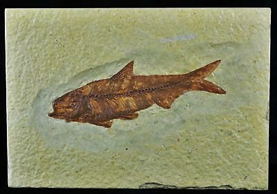 Knightia Eocaena Fossil Fish Green River Formation Wy Eocene 3.9 Inches Long