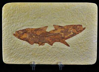 2 Two Knightia Eocaena Fossil Fish Green River  Wy Eocene Age 3.6 In Free Stand