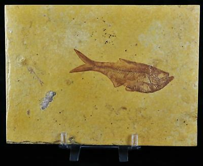 3.6 In Diplomystus Dentatus Fossil Fish Green River Wy Eocene Age Free Stand