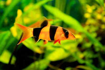 Clown Loach Chromobotia Macracanthus Live Tropical Fish Aquarium Tank Community